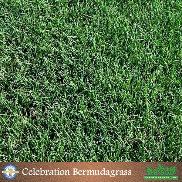 Celebration-Bermudagrass